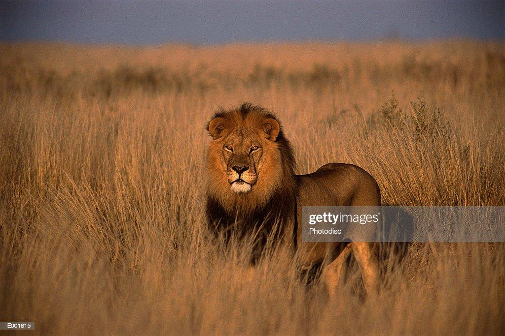 Lion (Panthera leo), adult male, standing on savanna : Stock Photo