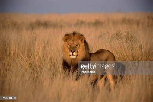 Lion (Panthera leo), adult male, standing on savanna : Foto de stock