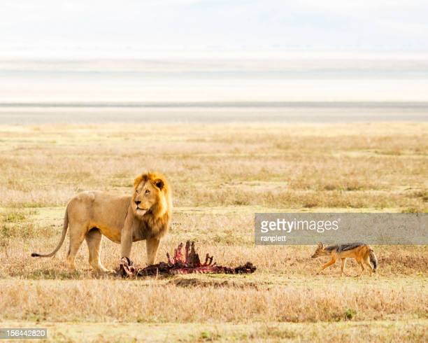 Lion & Prey in the Serengeti