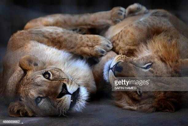 A lion and a lioness lie in their cage at the Zoo in Arbil the capital of the autonomous Kurdish region of northern Iraq on February 4 2015 AFP PHOTO...