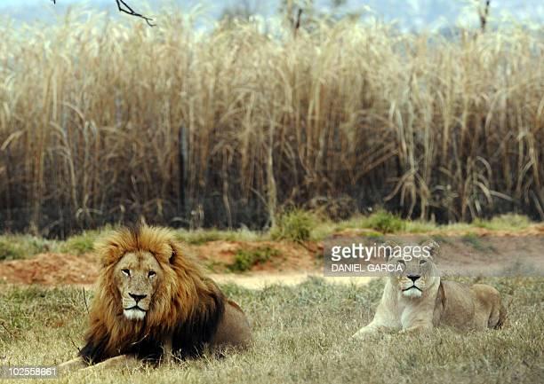 A lion and a lioness rest at Lion Park near Pretoria on June 29 2010 AFP PHOTO / DANIEL GARCIA