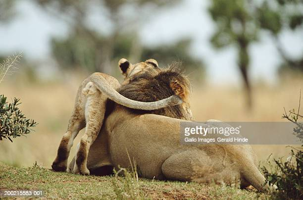 Lion (Panthera leo) and cub resting in field
