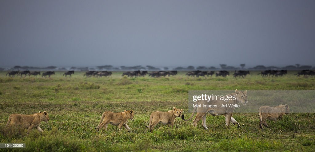 Lion and cubs crossing the grassland in the Serengeti National Park, Tanzania : Stock Photo