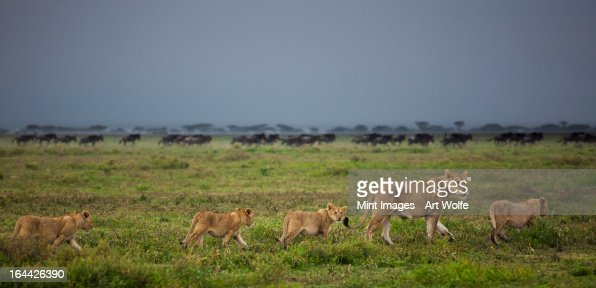 Lion and cubs crossing the grassland in the Serengeti National Park, Tanzania : Bildbanksbilder