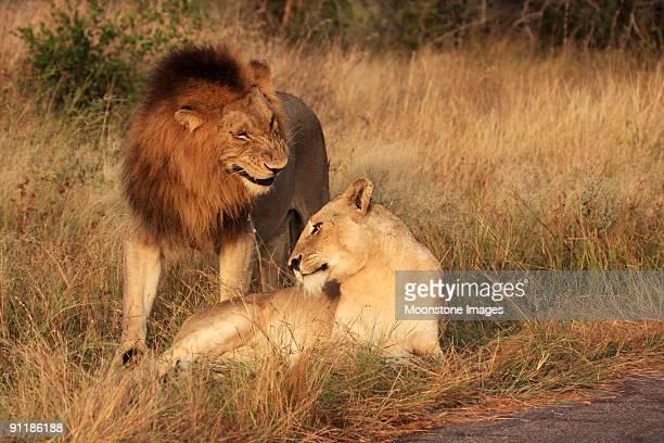 Lion et Lionne de Kruger Park, Afrique du Sud