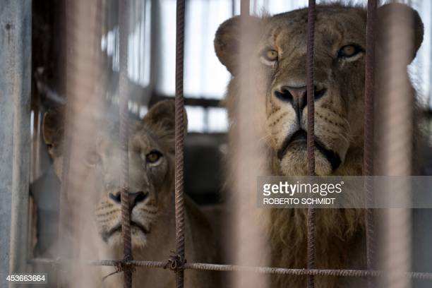 Lion and lioness look on from inside their cage at the Bisan City tourist village zoo in Beit Hanun on August 14 2014 The zoo part of AlBisan City...