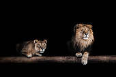 Lion and lioness, Portrait of a Beautiful lions, lions in the dark