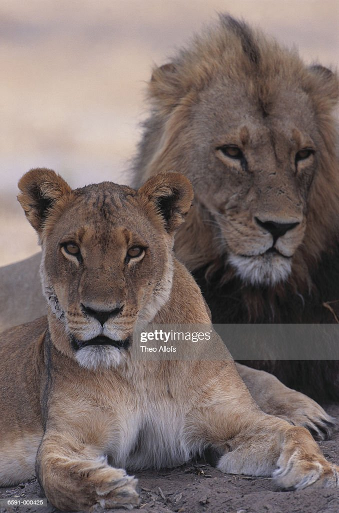 Lion and Lioness Resting : Stock Photo