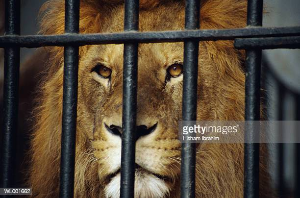 Lion Behind Bars at the Zoo