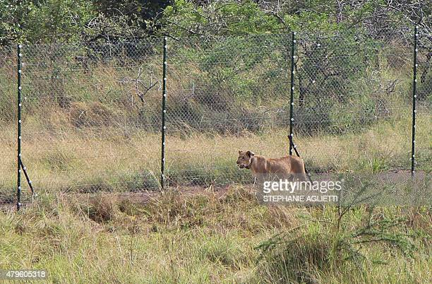 A lion brought from South Africa walks inside of the boma a temporary enclosure where they are going to spend at least two weeks in quarantine in...