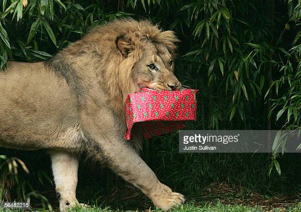 A lion carries a wrapped box filled with treats at the San Francisco Zoo December 22 2005 in San Francisco California Zoo animals received gifts and...