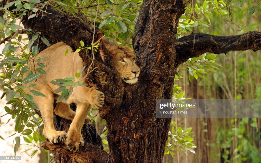 A lion climbs on to a tree at the zoo on October 5, 2013 in Lucknow, India. This lion along with another will be moved to upcoming Lion Safari in Etawah. The project was mooted by the Samajwadi Party government in 2005 in some 150 hectares of land in Fisher Reserve Forest on Etawah-Gwalior national highway. However, it was shelved by Mayawati government in 2007 and again revived after SP came back to power in March 2012.
