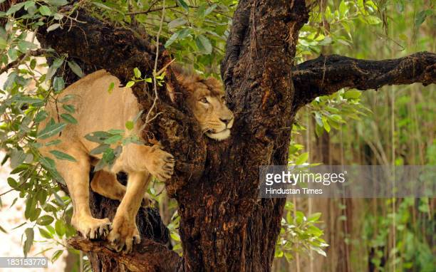 A lion climbs on to a tree at the zoo on October 5 2013 in Lucknow India This lion along with another will be moved to upcoming Lion Safari in Etawah...
