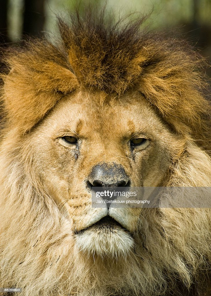 Lion, close up  : Stock Photo