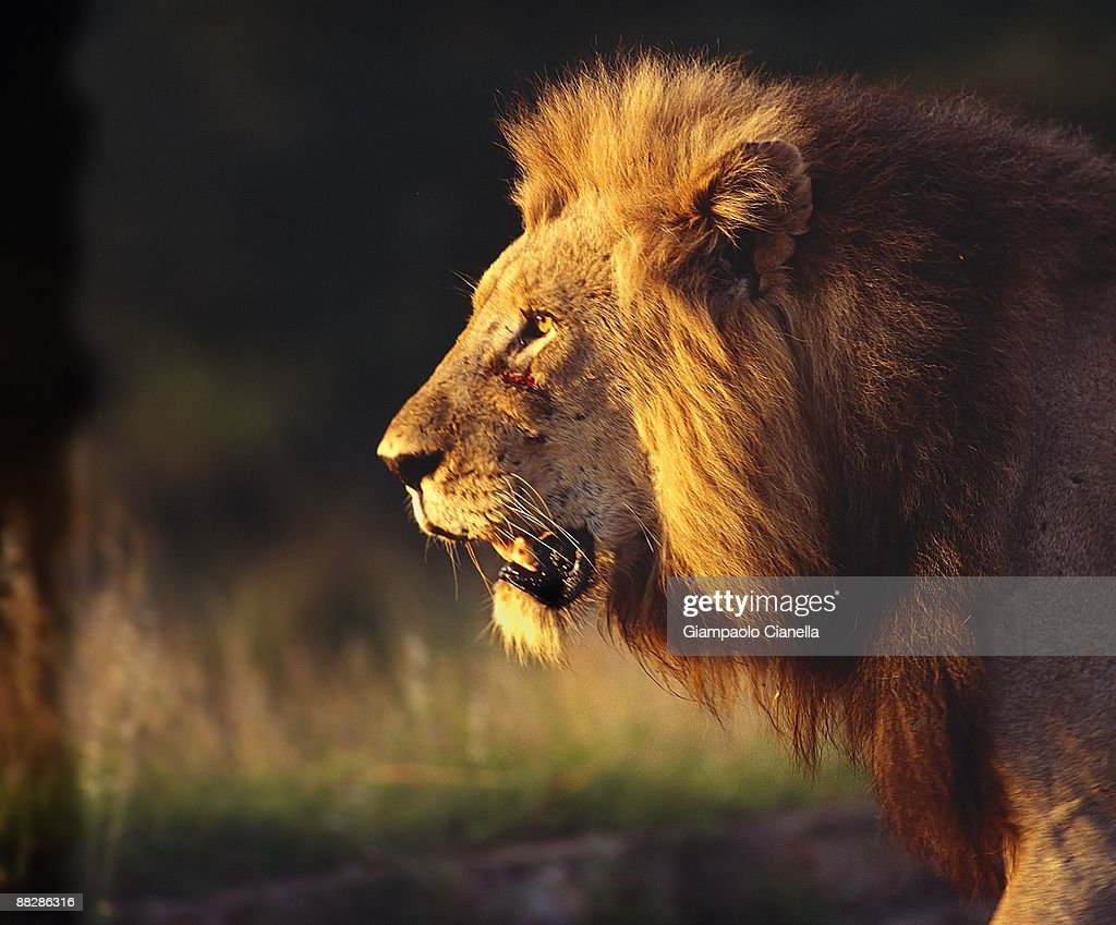Lion, close up, side view  : Stock Photo