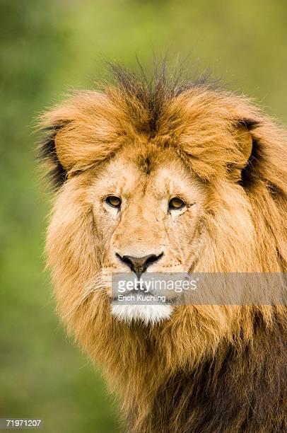 Lion, close-up