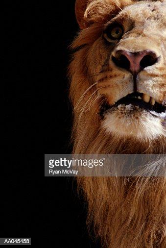 Lion (Panthera leo),  close-up