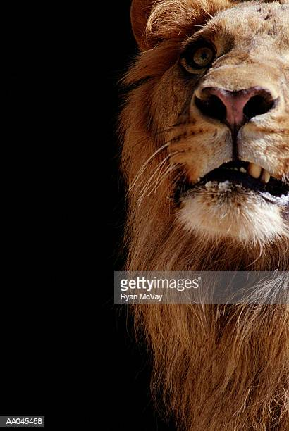 Lion (Panthera leo),  close-up