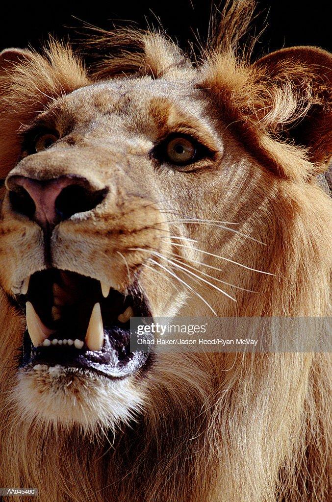Lion (Panthera leo), close-up : Stock Photo