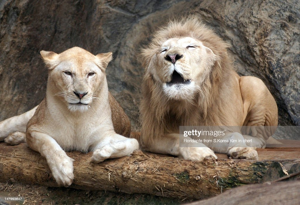 Lion couple : Stock Photo