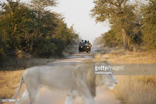 Lion crossing road in front of a jeep on safari, South Africa