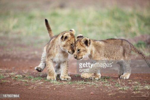 Lion cub affection