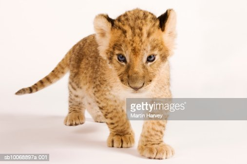 Lion cub (Panthera leo) against white background, close up : Stock Photo