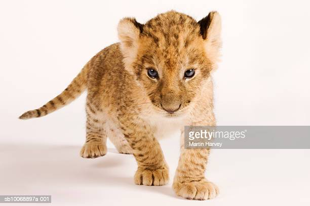 Lion cub (Panthera leo) against white background, close up
