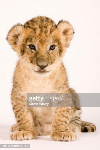 Lion cub (Panthera leo) against white background, close up : Stock Photo