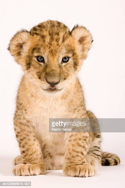 Lion cub (Panthera leo) against white background, close up