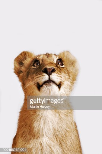 Lion cub (Panthera leo) against white background, looking up : Stockfoto
