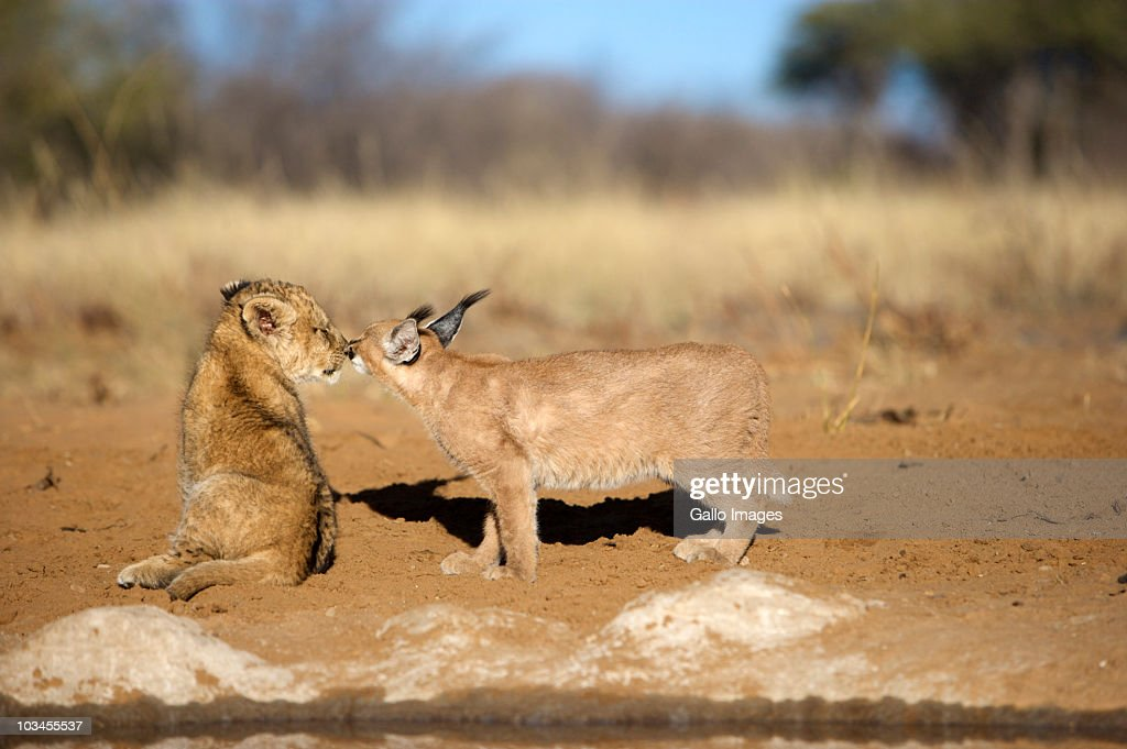 Lion Cub (Panthera Leo) and Caracal (Felis Caracal) nose to nose, Namibia : Stock Photo