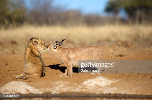 Lion Cub (Panthera Leo) and Caracal (Felis Caracal) nose to nose, Namibia : Stock Photo