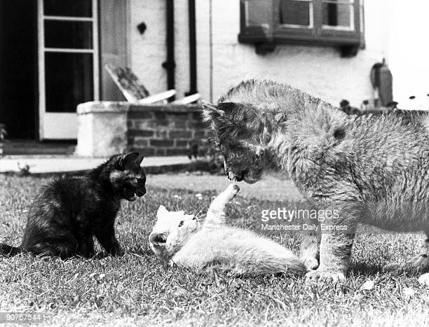 Lion cub and kittens 1979