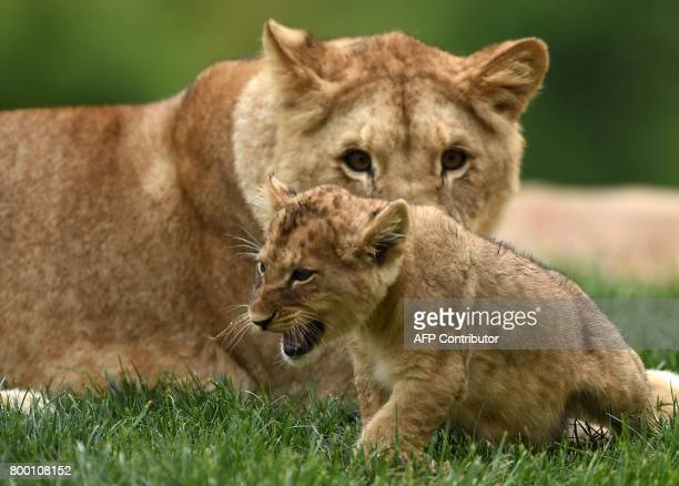 A lion cub born on April 15 2017 is pictured inside the new enclosure 'La Terre des Lions' on June 23 2017 at the Zooparc of Beauval / AFP PHOTO /...