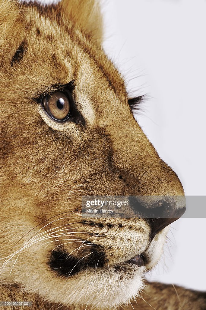 Lion cub (Panthera leo), close-up : Stock Photo