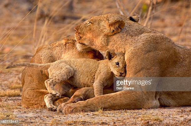 A Lion cub enthusiastically greets its mother.