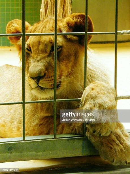 Lion Cub In Captivity