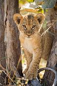 Lion Cub in Savuti Marsh, Botswana
