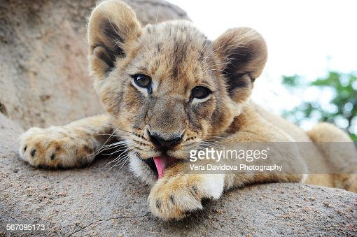 Lion cub licking its paw, South Africa