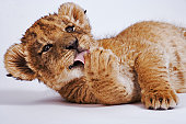 Lion cub (Panthera leo) licking paw, close-up