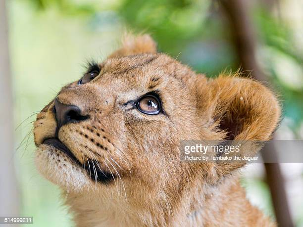 Lion cub looking upwards
