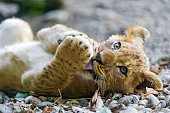 Lion cub on the back licking paw