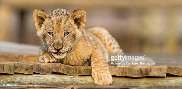 Lion cub on the platform