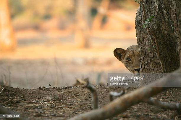Lion cub (panthera leo) peeking from behind a tree trunk, Mana Pools National Park, Zimbabwe