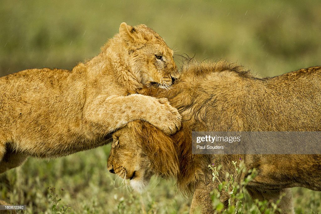 Lion Cub Playing, Ngorongoro, Tanzania : Stock Photo