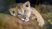 Lion cub posing on mom