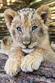 Lion cub posing on the log
