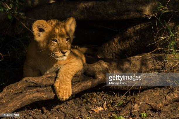 lion cub resting its paw on a stick
