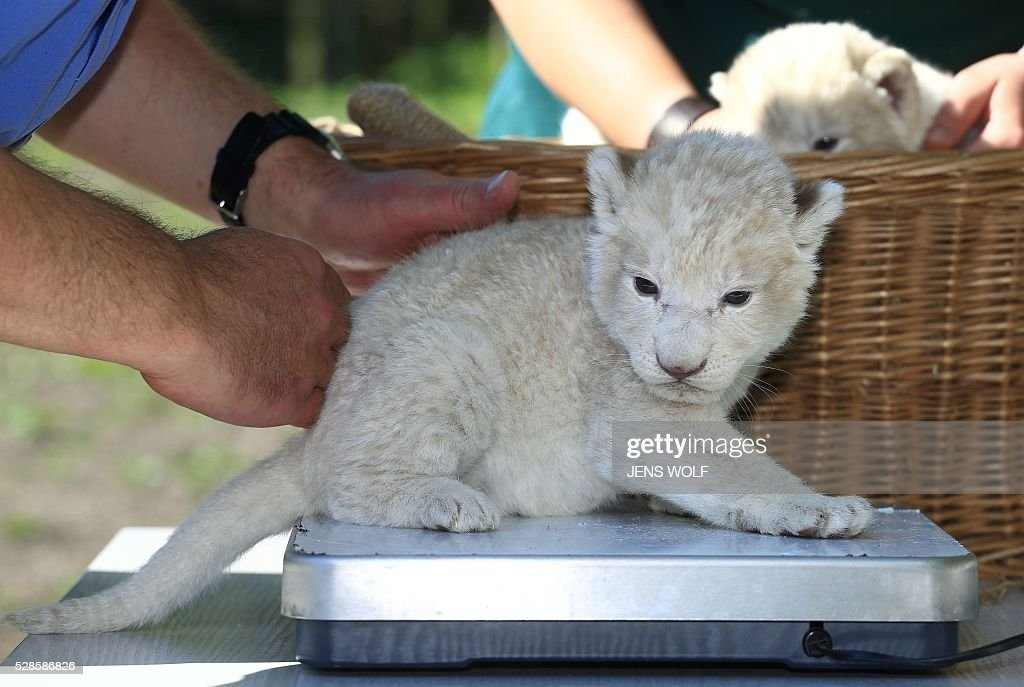 A lion cub sits on the scales during a presentation to the press on May 6, 2016 at the zoo in Magdeburg, eastern Germany. Two lion cubs were born at the zoo on April 26, 2016. / AFP / dpa / Jens Wolf / Germany OUT